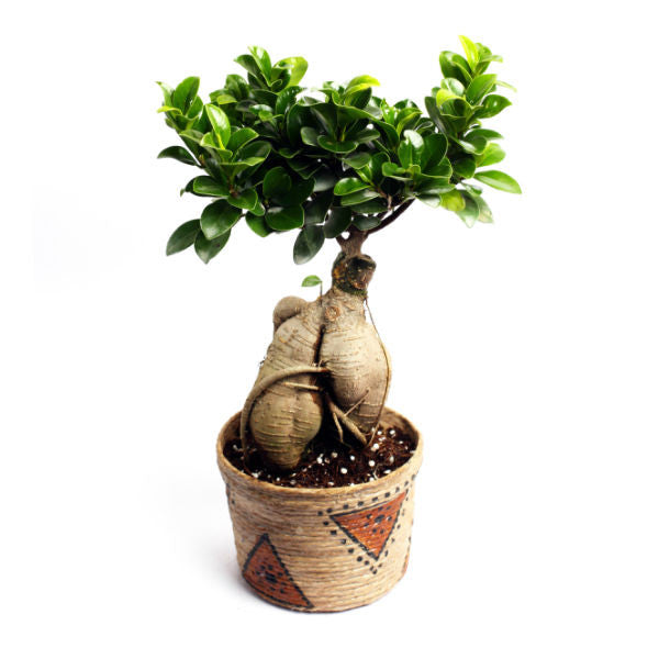 Grafted Ficus Bonsai Tree 4 Year Old in Jute Plant - Giftingnation