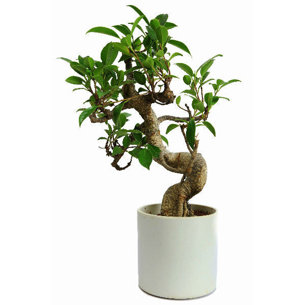 S Shape Ficus Bonsai Tree 3 Years Old in Ceramic Pot - Giftingnation