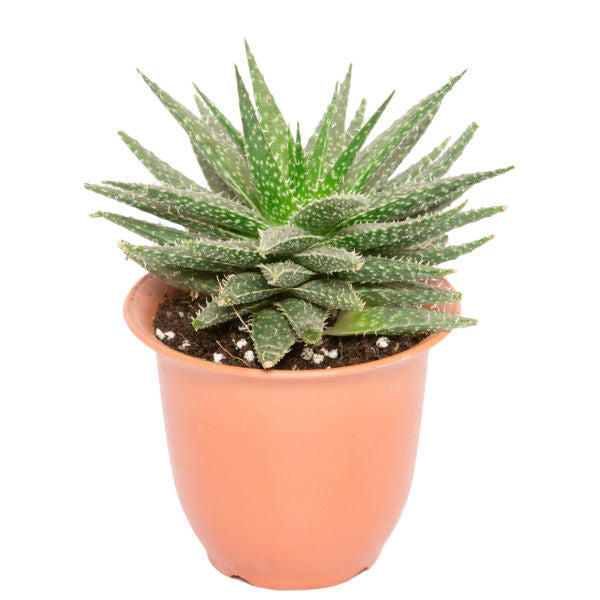 Succulent Plant in Recycled Plastic Pot - Giftingnation