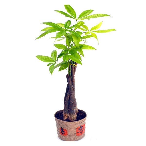 Indoor Plant Money Tree Braided in Jute Pot - Giftingnation