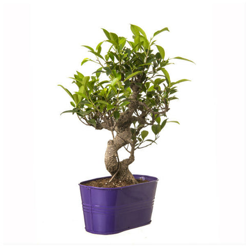 6 Year Old S Shape Bonsai In Purple Pot - Giftingnation - 2