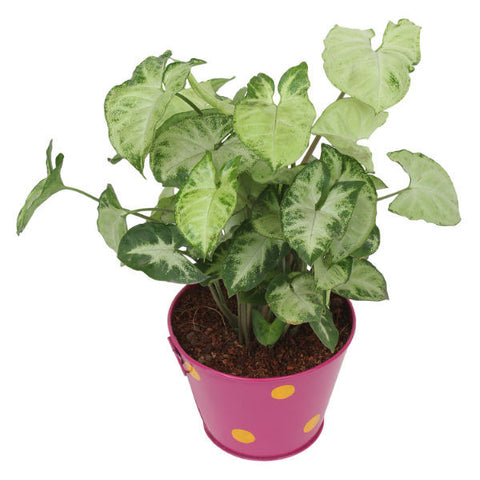 Indoor Plant Hybrid Green Syngonium in Round Pink Metal Pot - Giftingnation - 2