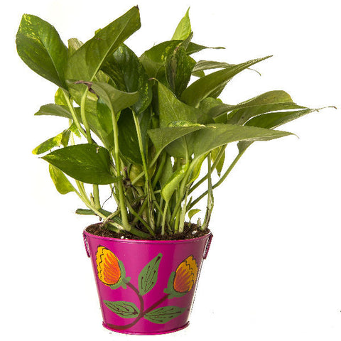 Indoor Hybrid Money Plant in Round Pink Metal Pot - Giftingnation - 1