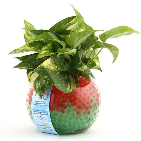 Color Splash Money Plant - H2O Series - Giftingnation