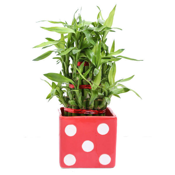 Lucky Bamboo 3 Layer Plant in Square Red Polka Ceramic Pot - Giftingnation
