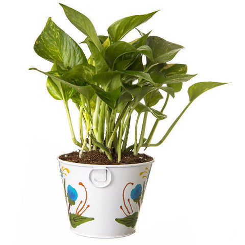 Indoor Hybrid Money Plant in Round White Metal Pot - Giftingnation - 2