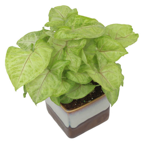 Indoor Plant Syngonium Green in Choco Brown Ceramic Pot - Giftingnation - 1