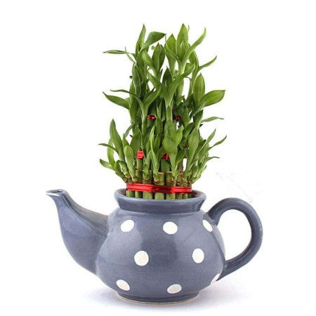 Kettle Lucky Bamboo Plant In Grey - Giftingnation