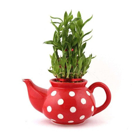 Adorbs Kettle Lucky Bamboo Plant In Red - Giftingnation