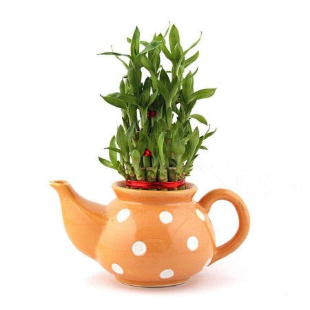 Adorbs Kettle Lucky Bamboo Plant In Yellow - Giftingnation