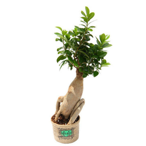 Grafted Ficus Bonsai Tree 5 Year Old in Jute Pot - Giftingnation