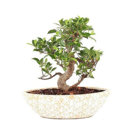 Cream 5 Year S Shape Ficus Bonsai Plant - Giftingnation