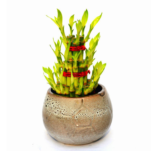 3 layer Lucky Bamboo Plant in Beige Pot - Giftingnation
