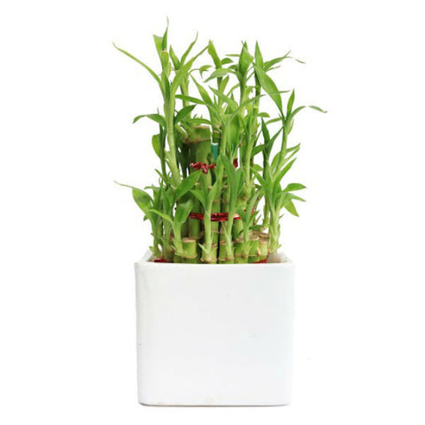 Classic Lucky Bamboo Plant - Giftingnation