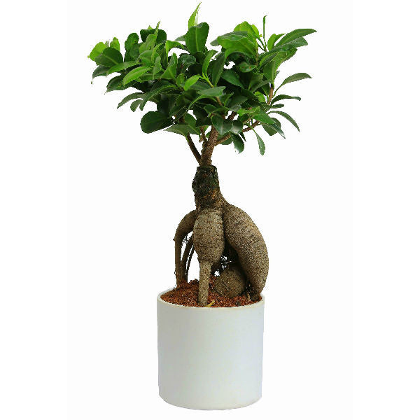 Grafted Ficus 2 Years Old Bonsai Tree in Round White Pot - Giftingnation