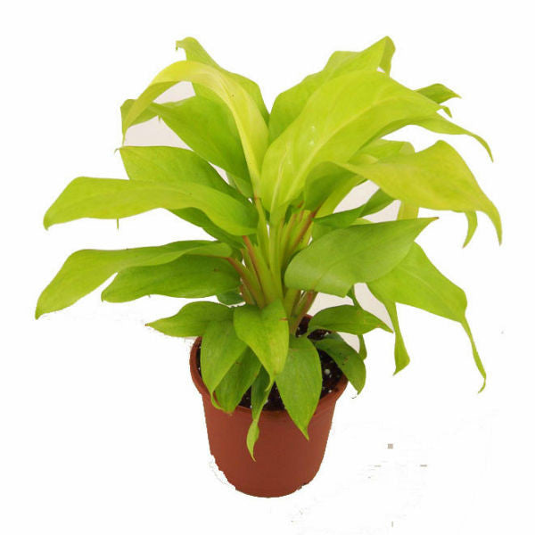 Indoor Plant Philodendron in Plastic Pot - Giftingnation