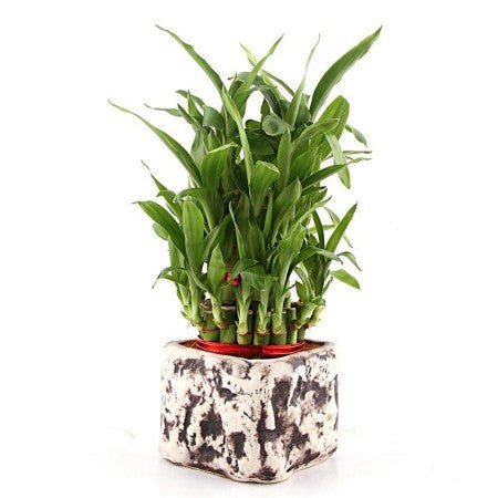 Charming Purple Lucky Bamboo Plant - Giftingnation