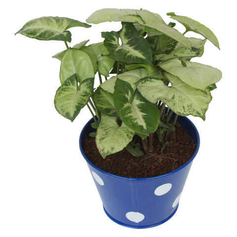 Indoor Plant Hybrid Green Syngonium in Round Blue Metal Pot - Giftingnation - 1