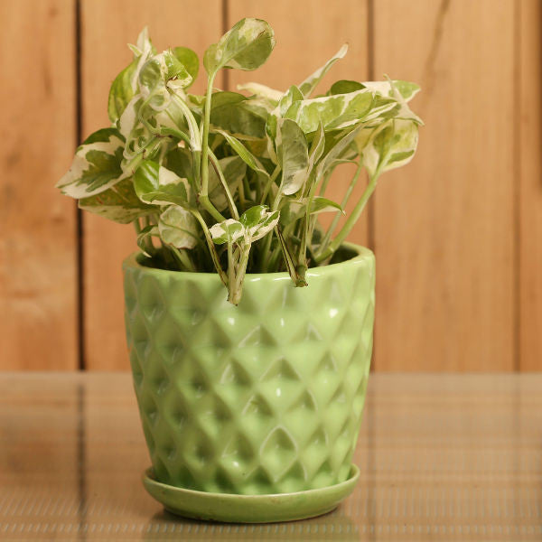 Spotted Green White Pothos Plant - Giftingnation