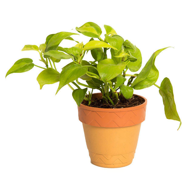 Indoor Plant Oxycardium in Self Watering Planter - Giftingnation