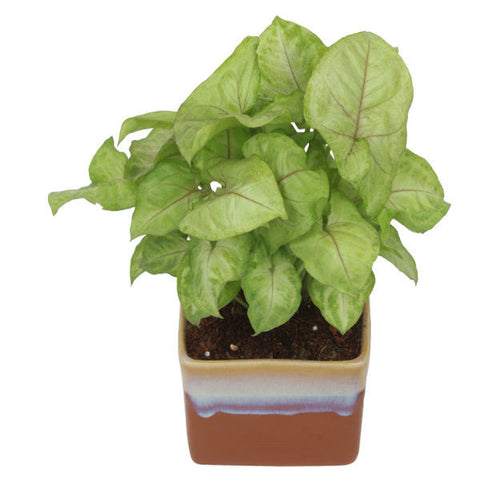 Indoor Plant Syngonium Green in German Brown Ceramic Pot - Giftingnation - 2