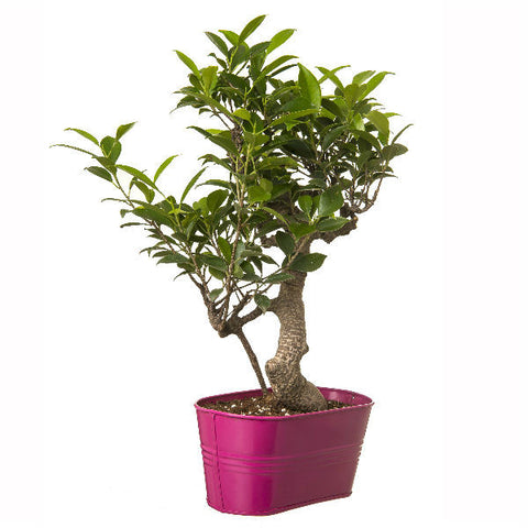 6 Year Old S Shape Bonsai In Pink Pot - Giftingnation - 2