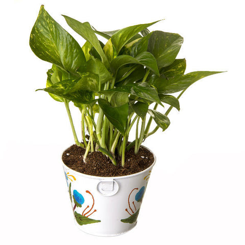 Indoor Hybrid Money Plant in Round White Metal Pot - Giftingnation - 1