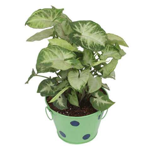Indoor Plant Hybrid Green Syngonium in Round Green Metal Pot - Giftingnation - 1