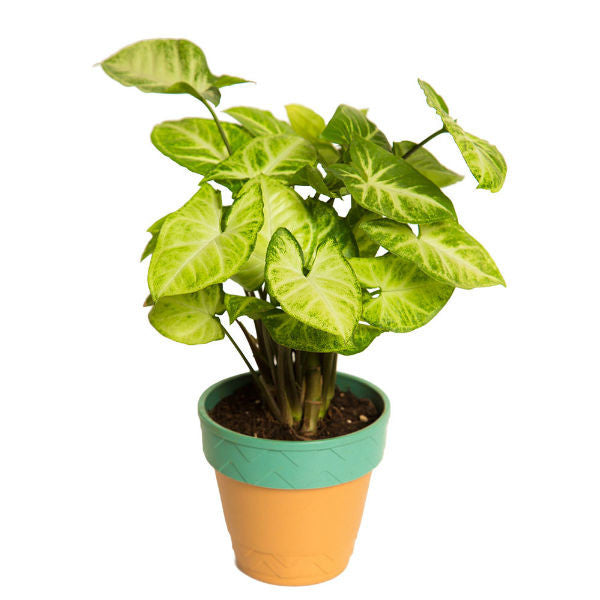 Indoor Plant Hybrid L&L Syngonium in Self watering Planter - Giftingnation