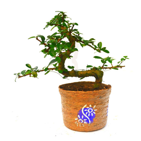 S Shape Carmona Bonsai Tree in Jute Pot - Giftingnation