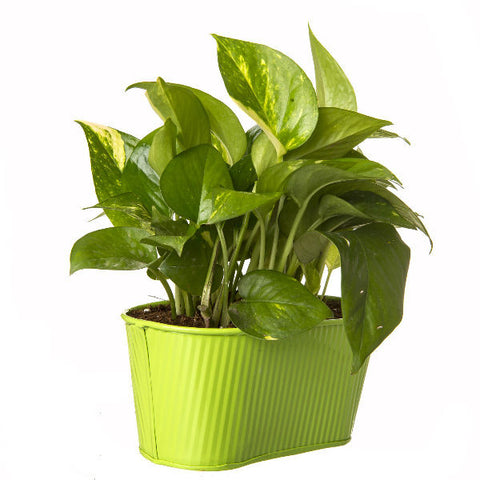 Indoor Hybrid Money Plant in Oval Green Metal Pot - Giftingnation - 1