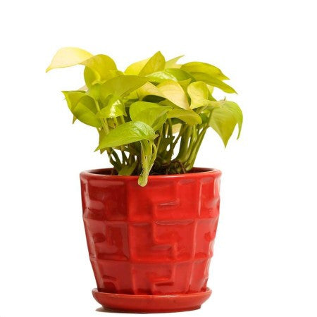 Glossy Red Golden Pothos Plant - Giftingnation