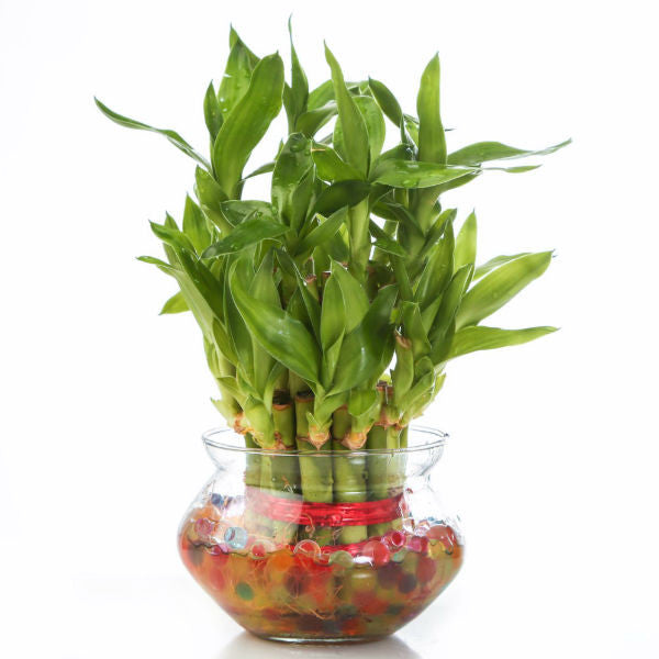 Unpollute 2 Layer Lucky Bamboo Plant - Giftingnation