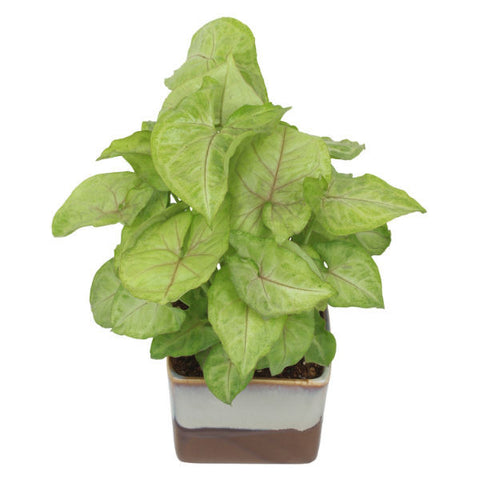 Indoor Plant Syngonium Green in Choco Brown Ceramic Pot - Giftingnation - 2