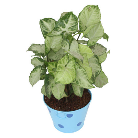 Indoor Plant Hybrid Green Syngonium in Round Light Blue Metal Pot - Giftingnation - 2