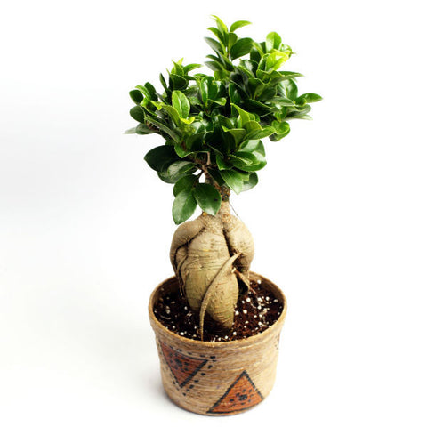 Grafted Ficus 2 Year Old Bonsai Tree with Jute Pot - Giftingnation