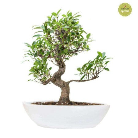 Ivory S-Shaped Ficus Bonsai Plant Boat Pot - Giftingnation