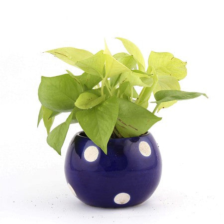 Unpollute Royal Golden Pothos Plant - Giftingnation