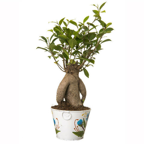 Grafted Ficus 4 Year Old Bonsai In White Pot - Giftingnation - 2