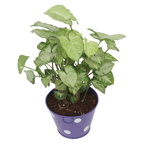 Indoor Plant Hybrid Green Syngonium in Round Purple Metal Pot - Giftingnation - 2
