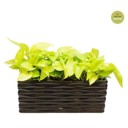 Midnight Tray Golden Pothos Plant - Giftingnation