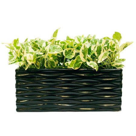 Midnight Tray White Pothos Plant - Giftingnation
