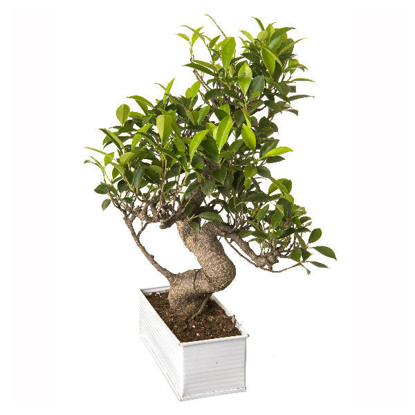 6 Year Old S Shape Ficus Bonsai Tree in White Pot - Giftingnation - 1