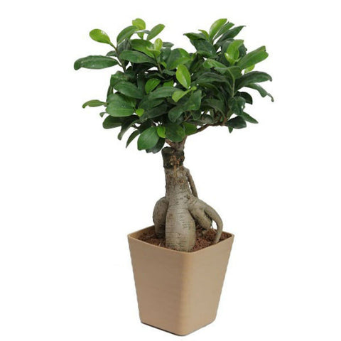 Grafted Ficus 2 Year Old Bonsai Tree in Light Brown Pot - Giftingnation