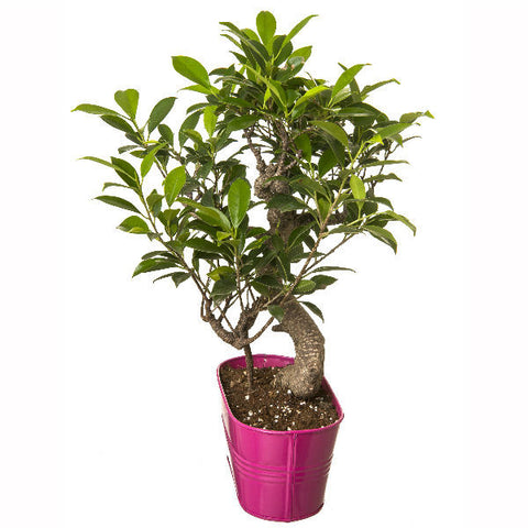 6 Year Old S Shape Bonsai In Pink Pot - Giftingnation - 1