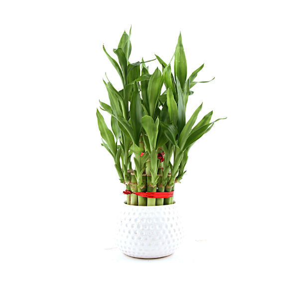 Dotted Affair Lucky Bamboo Plant White - Giftingnation