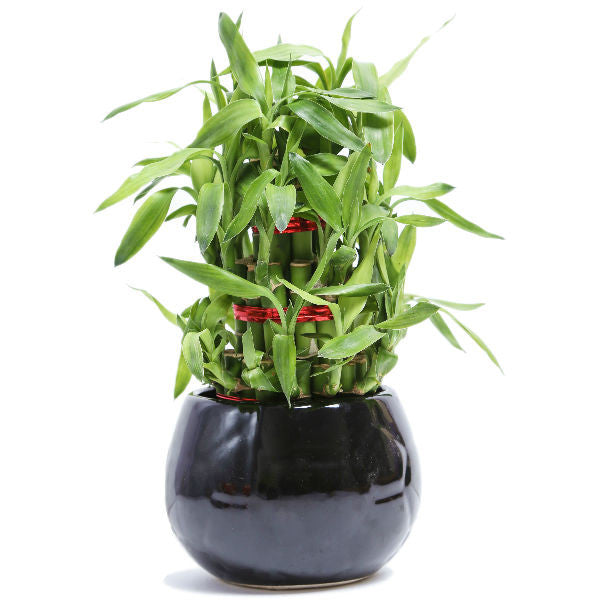 Lucky Bamboo 3 layer Plant with Black Ceramic Pot - Giftingnation