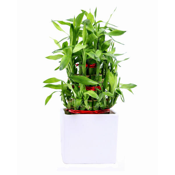 Lucky Bamboo 3 layer with Plant White ceramic Pot - Giftingnation