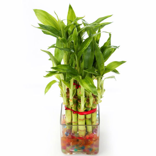Lucky Bamboo Two Layer Plant with Big Sqaure Pot - Giftingnation