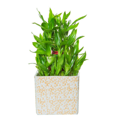 Lucky Bamboo 3 Layer Bamboo in Rain Drop Ceramic - Giftingnation